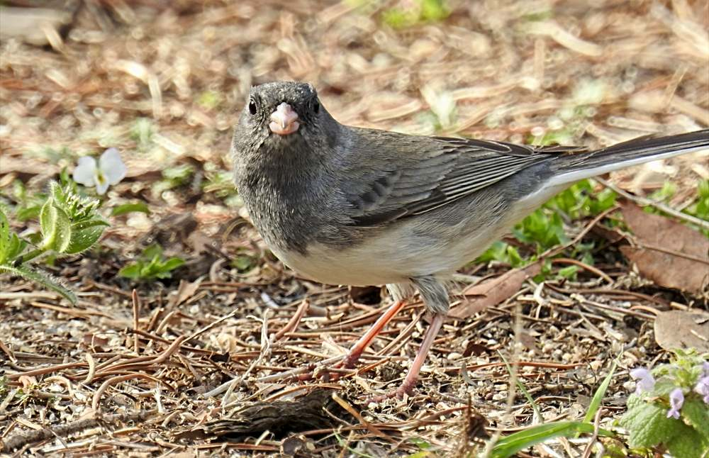 Junco Eating Millet on the Ground