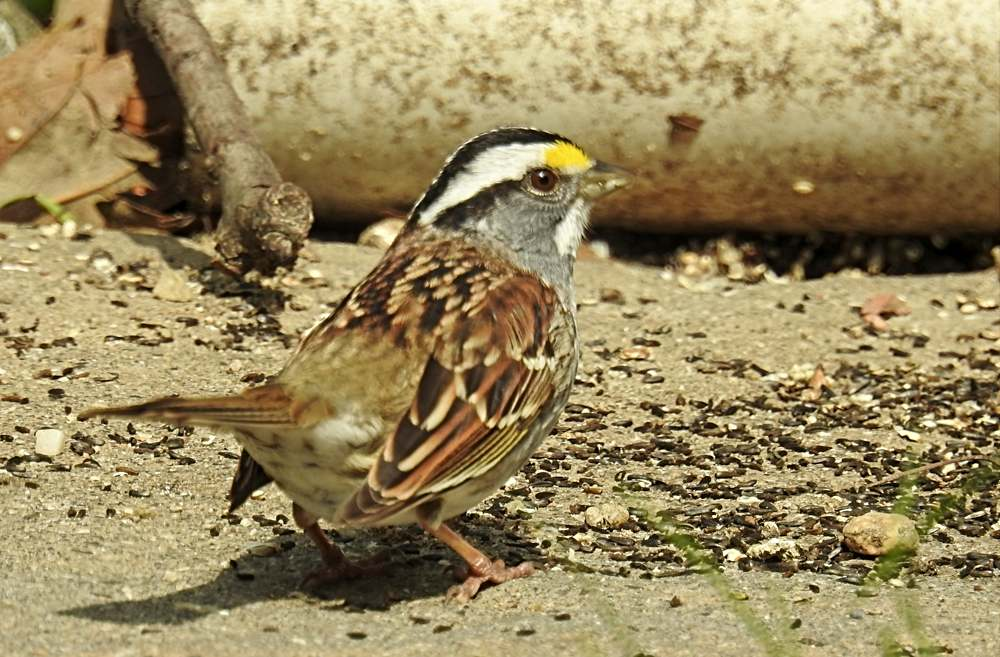 White-Throated Sparrow Eats Seed on Paved Surface