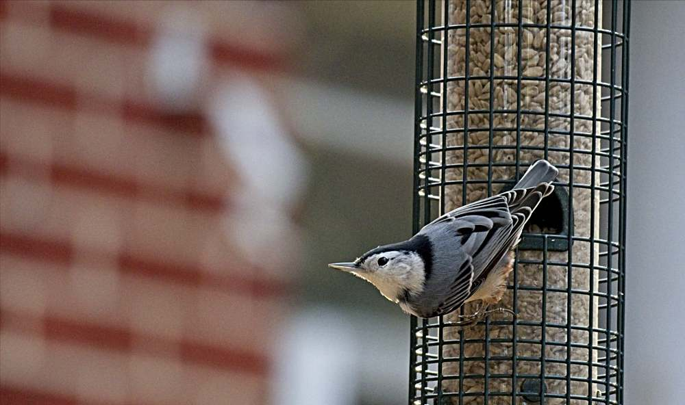 White-Breasted Nuthatch on a Feeder Full of Sunflower Hearts.