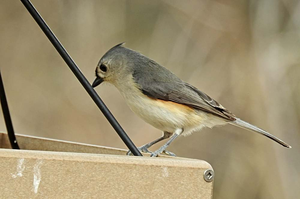 Tufted Titmouse on Feeder Looking For a Peanut