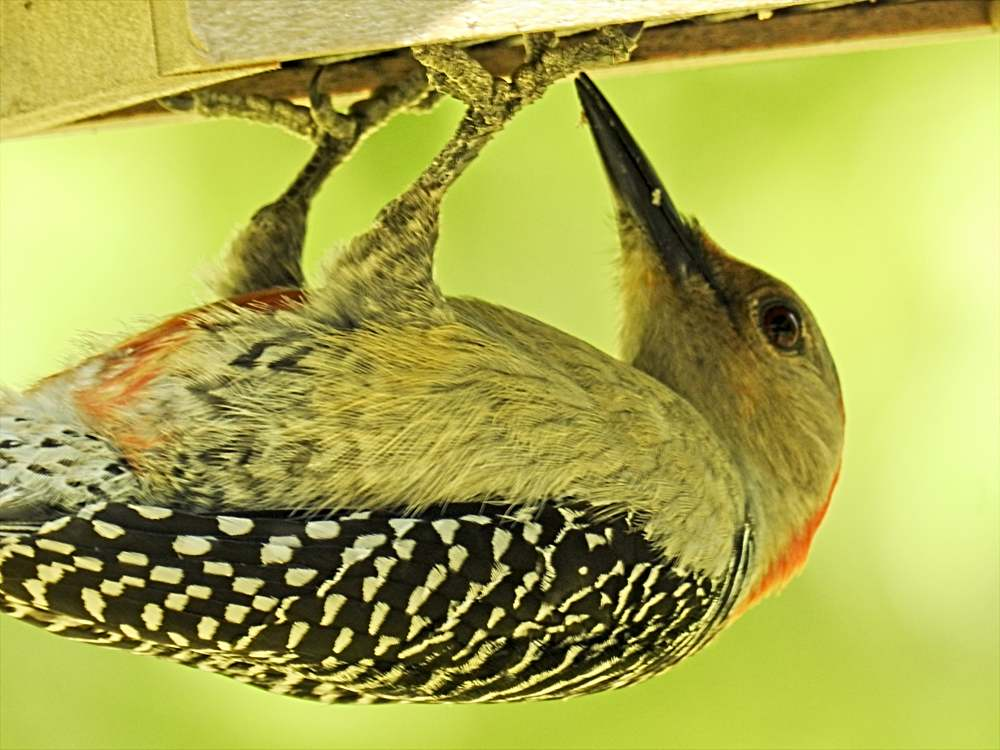 Red-Bellied Woodpecker Eating Nutsie Seed Cake