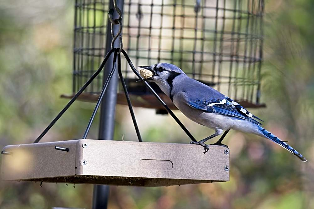 Blue Jay Takes a Peanut From a Feeder