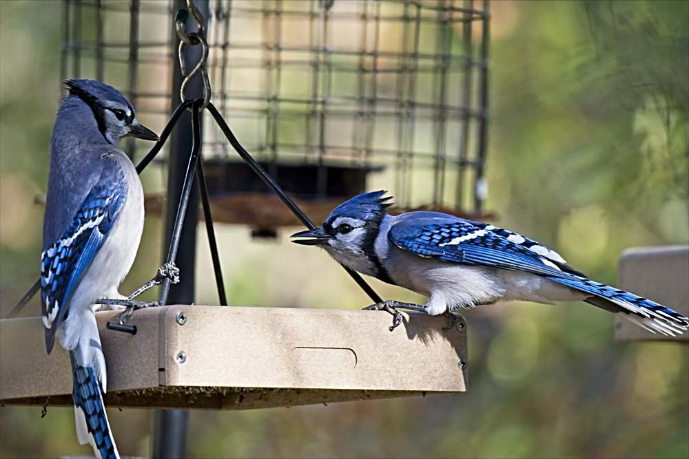 Blue Jays Bickering Over Peanuts