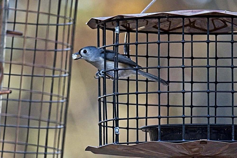 Titmouse with Peanut Split