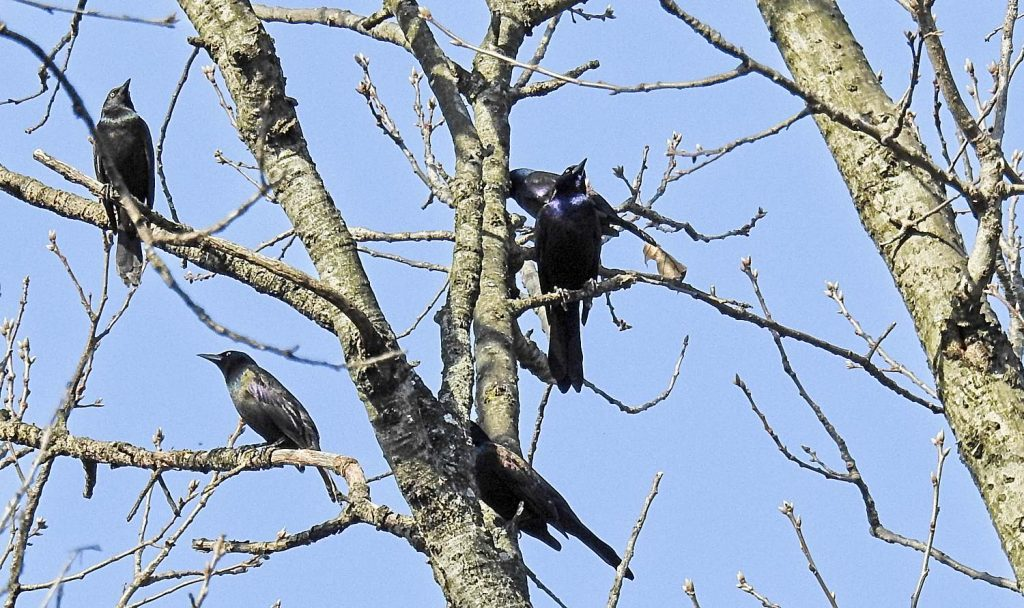 Common Grackles are Often Part of Mixed Flocks