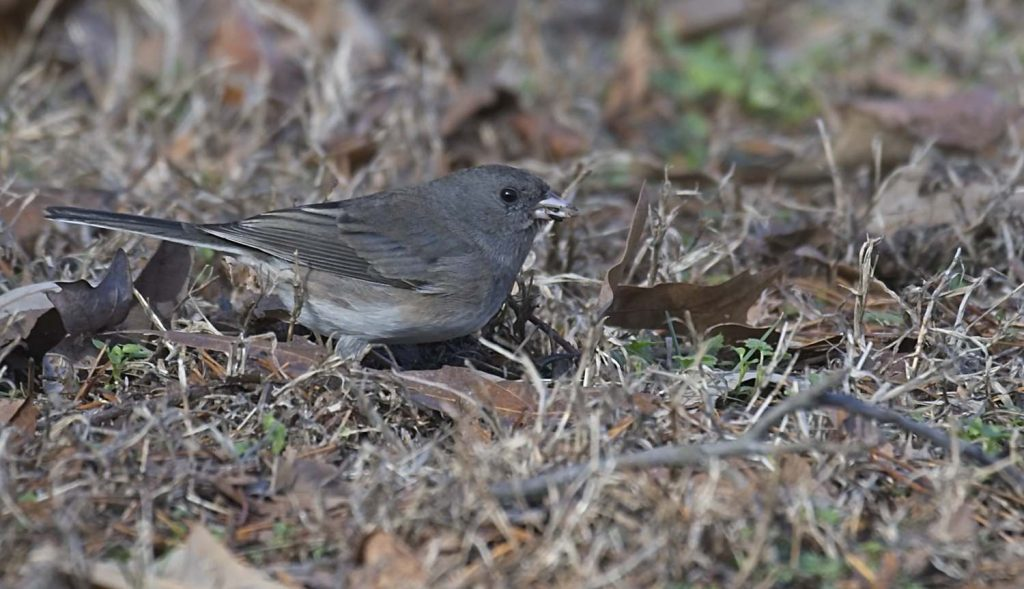 Dark-Eyed Junco Eating Nyjer Seed