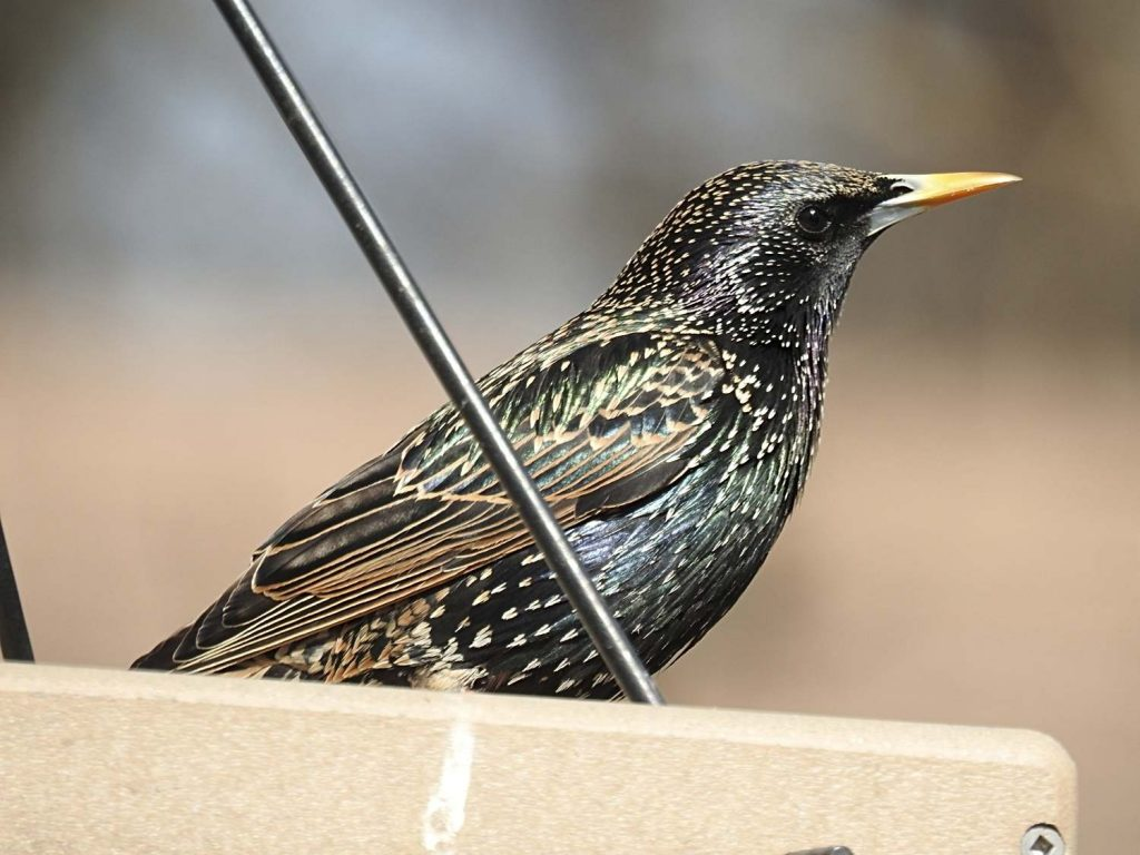 European Starling in Hanging Platform Feeder
