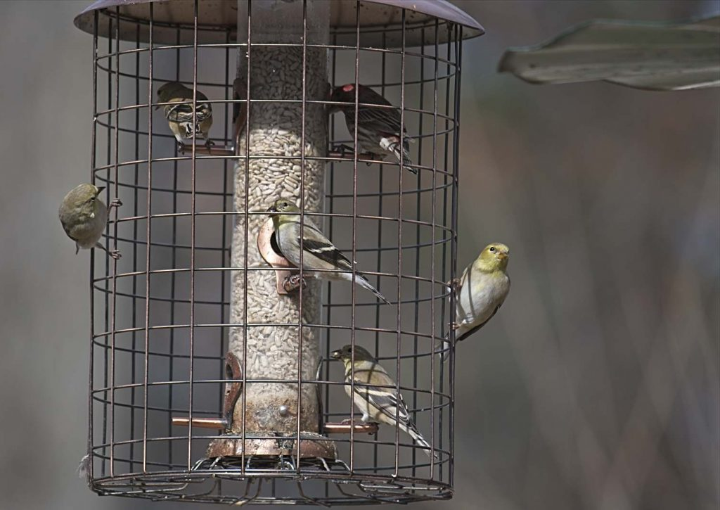 American Goldfinches Eating Sunflower at a Woodlink Cage Feeder