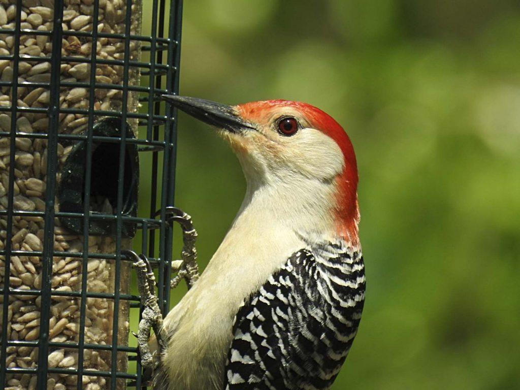 Red-Bellied Woodpecker on Feeder