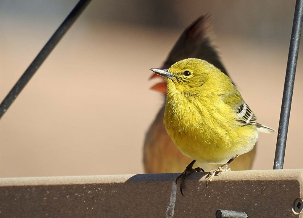 Pine Warbler on a Bird Feeder