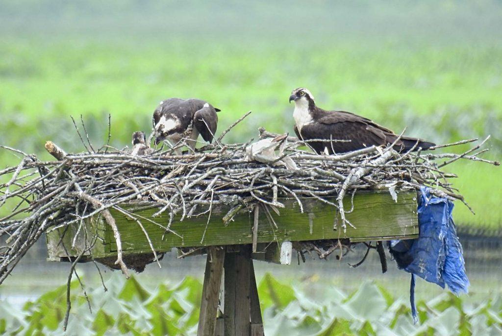 Osprey Nest at Jug Bay (2016)