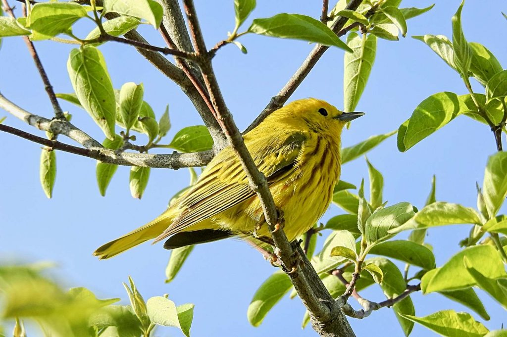 Yellow Warbler at Magee Marsh Ohio (2017)