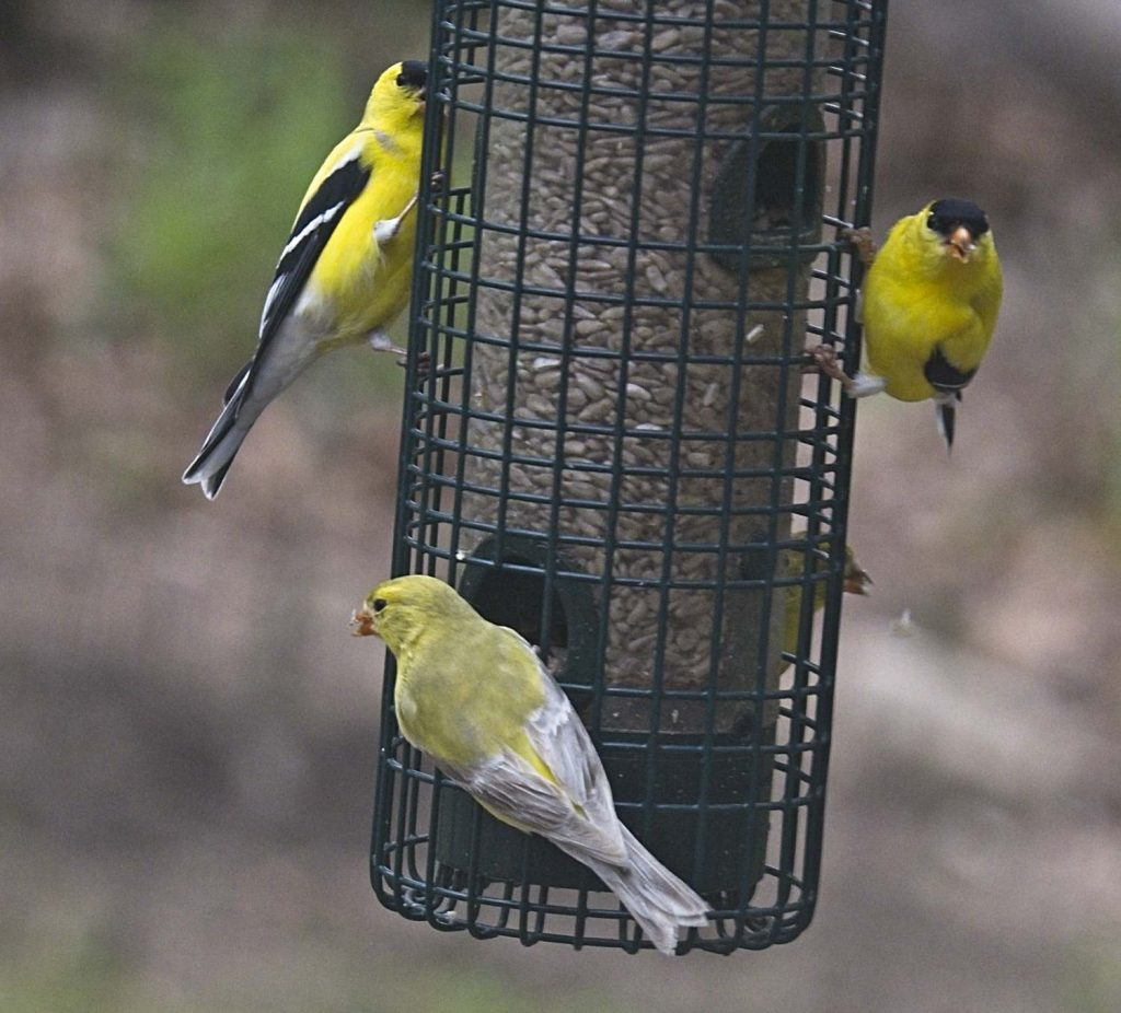 An oddly colored leucistic female American Goldfinch on a feeder with two male goldfinches.