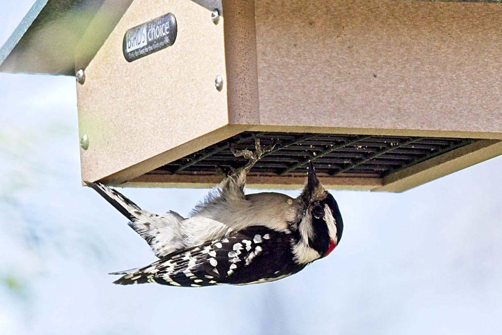 Downy Woodpecker Eating Suet