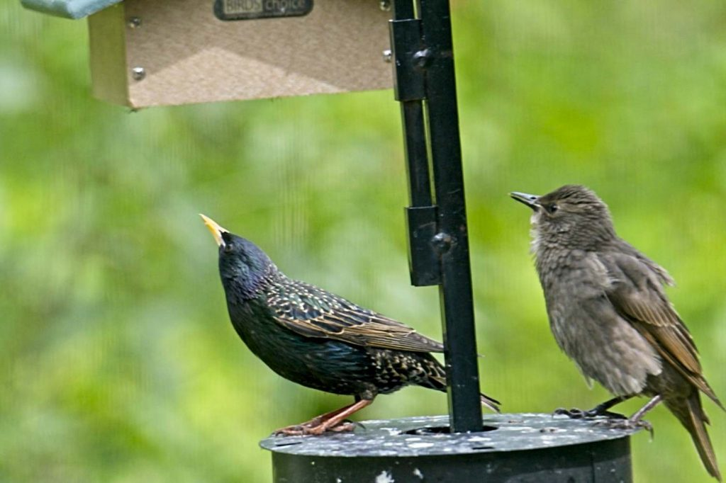 Starlings at Suet Feeder