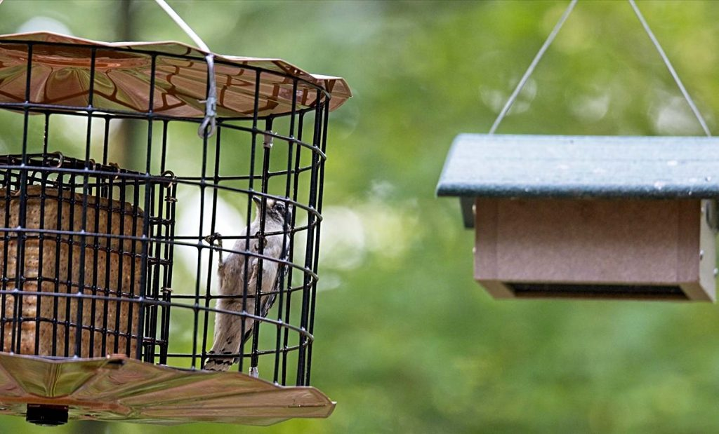 Downy on Outside of Starling-Proof Feeder