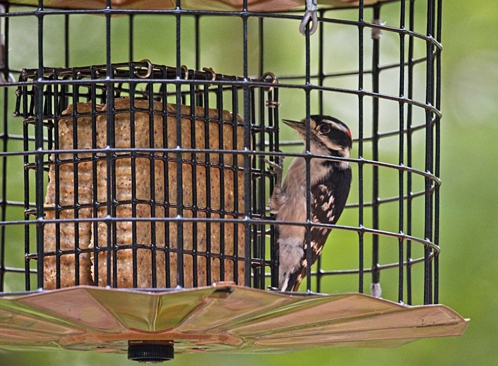 Downy Woodpecker on Starling-Proof Suet Feeder