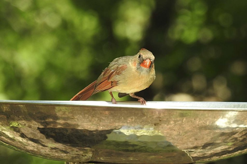Female Northern Cardinal on Birdbath