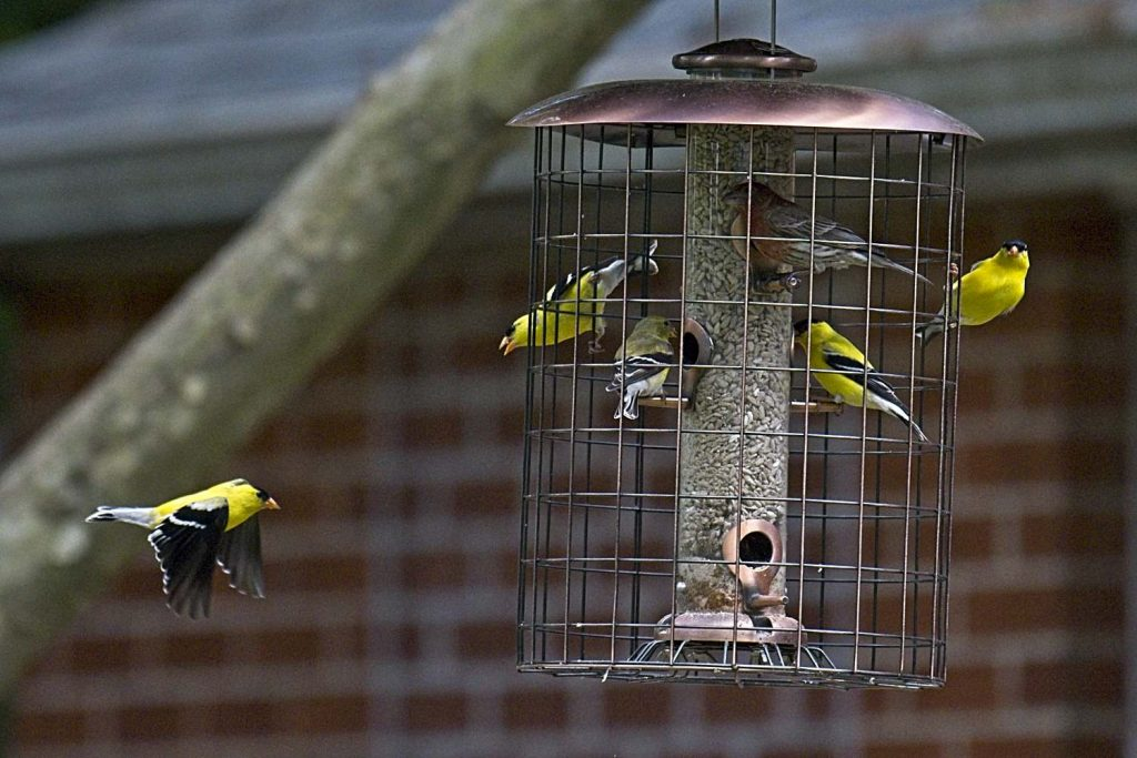 American Goldfinches & a House Finch at Feeder