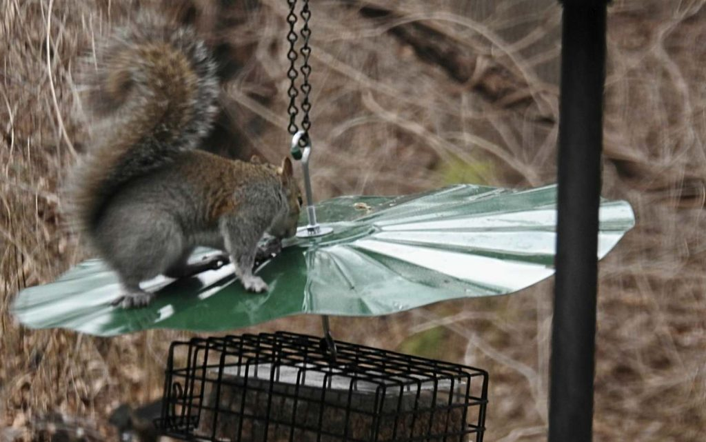 Squirrel on a Baffle Over a Bird Feeder