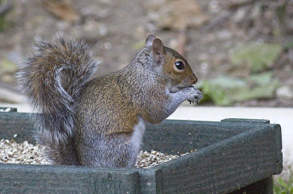 Squirrel in a Ground Bird Feeder