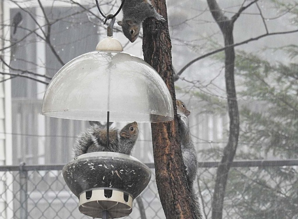 Squirrels in a Bird Feeder