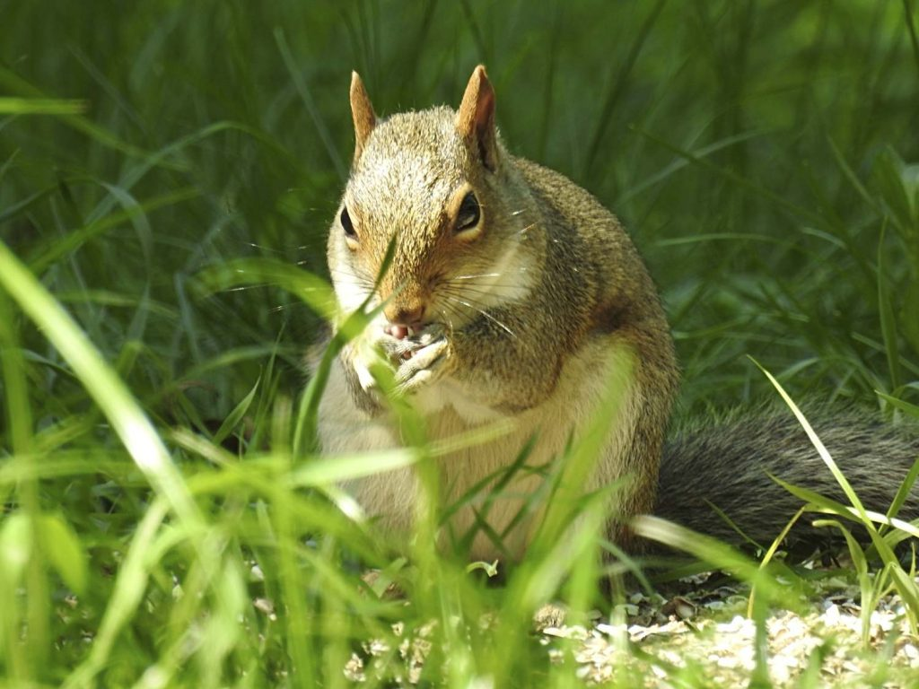 Squirrel Eating Seed