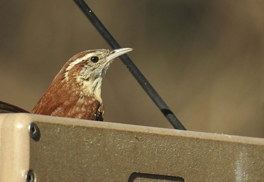 Carolina Wren on Platform Feeder