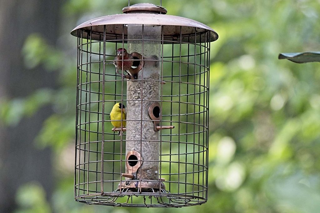 House Finch & American Finch in Woodlink Cage Feeder