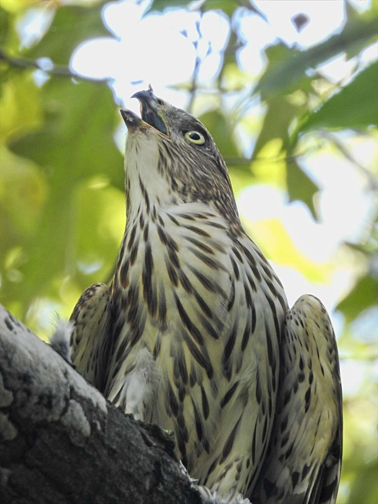 Juvenile Cooper's Hawk Eating a House Finch