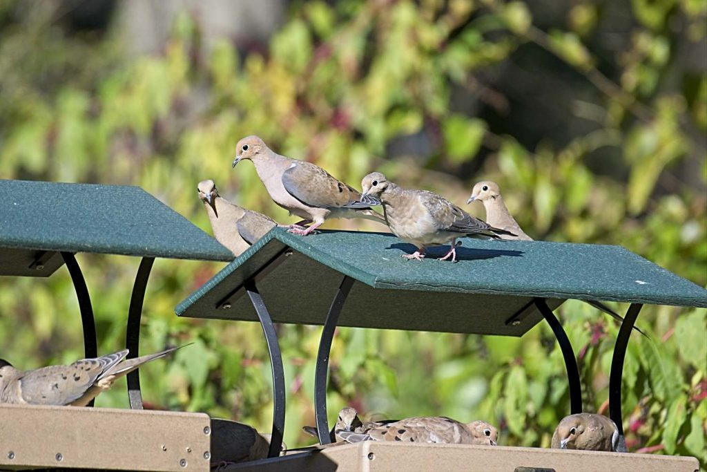Mourning Doves on Two Platform Feeders