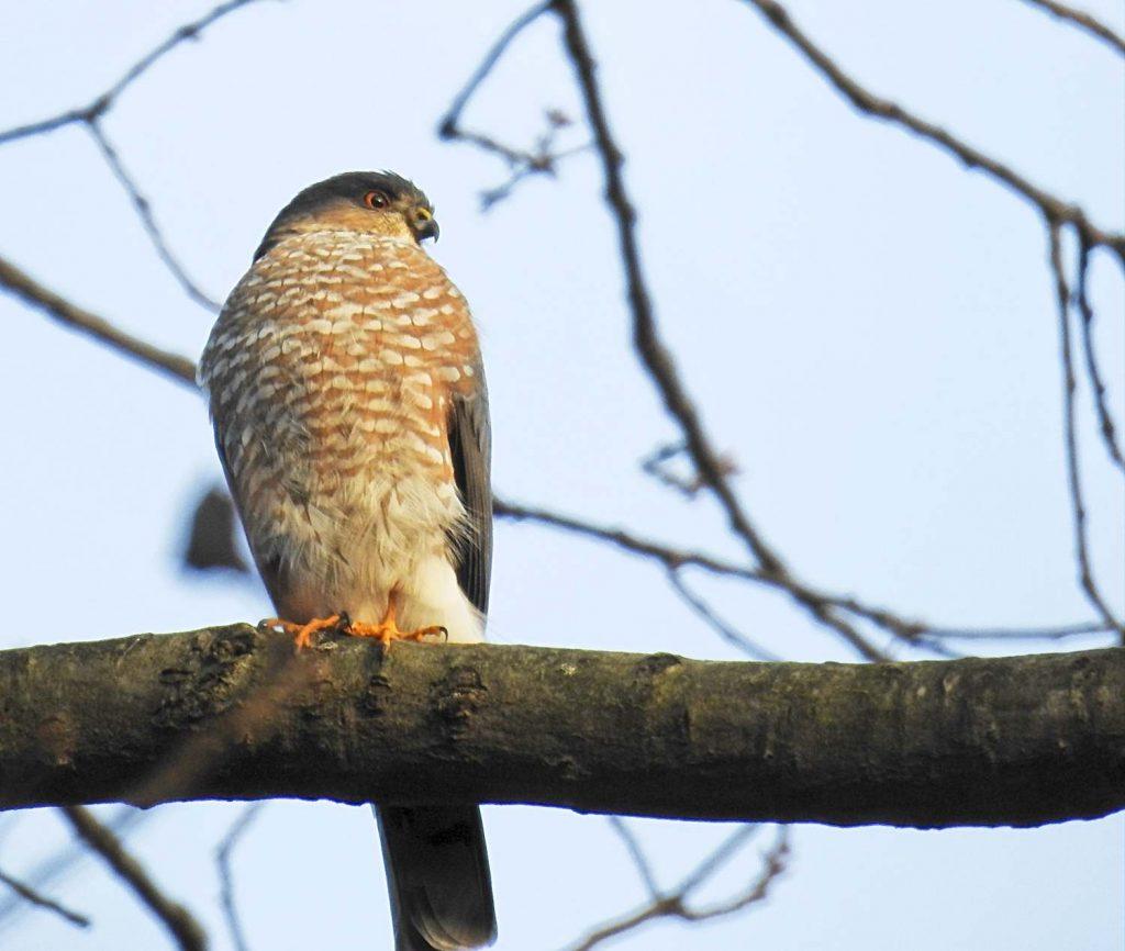 Smaller Sharp-Shinned Hawks Hunt Feeders too