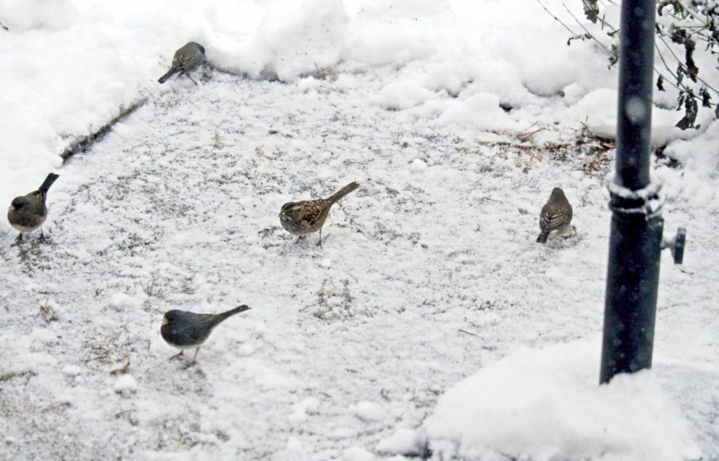 Feeding White-Throated Sparrow & Dark-Eyed Juncos seed under a patio umbrella in the snow