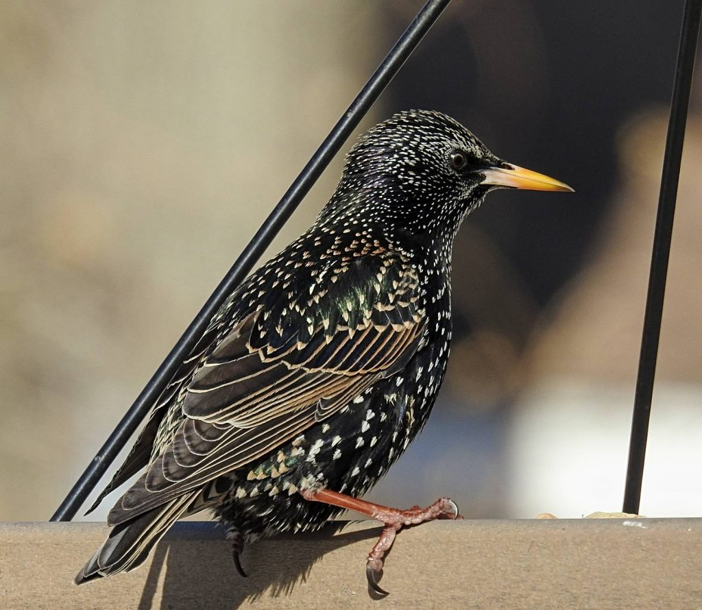 European Starling on Seed Feeder