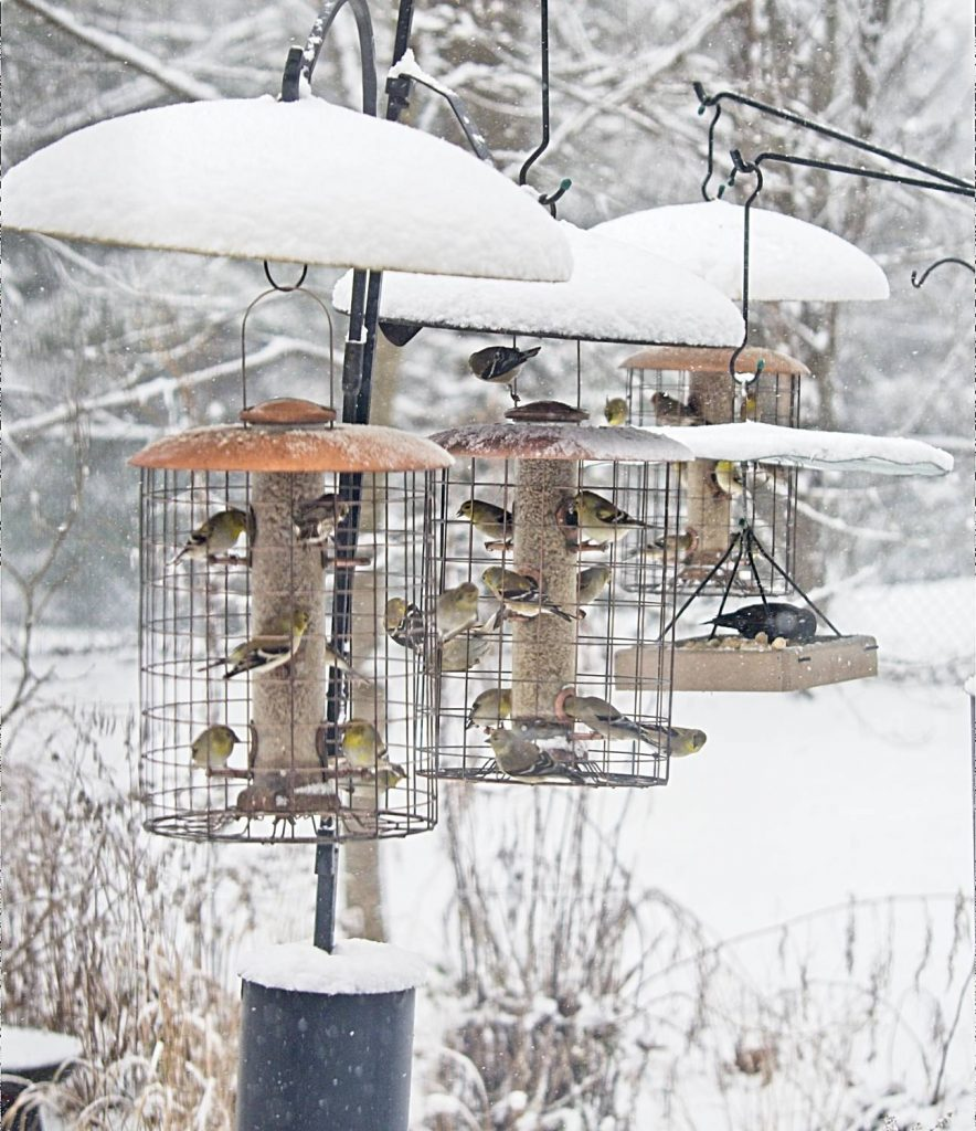 American Goldfinches Eating Sunflower Seed