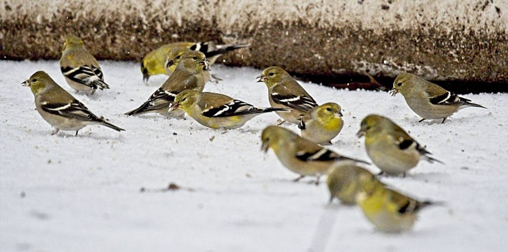 American Goldfinches Eating Sunflower on the Ground