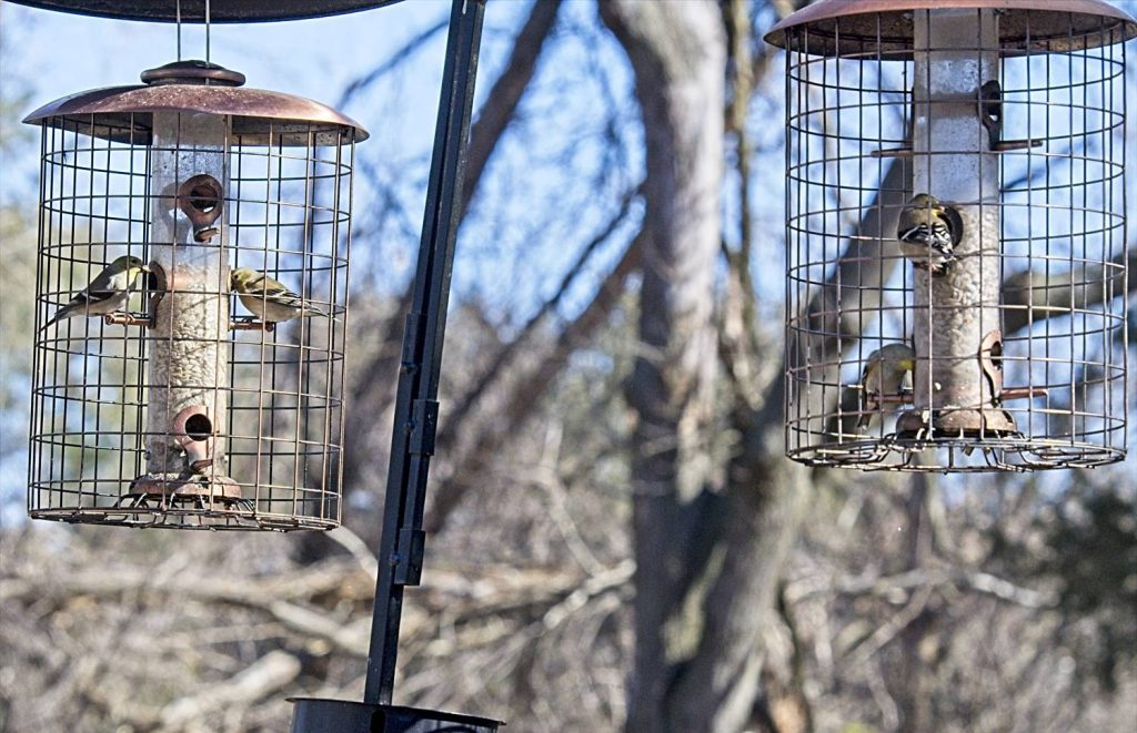 American Goldfinches on Woodlink Feeders