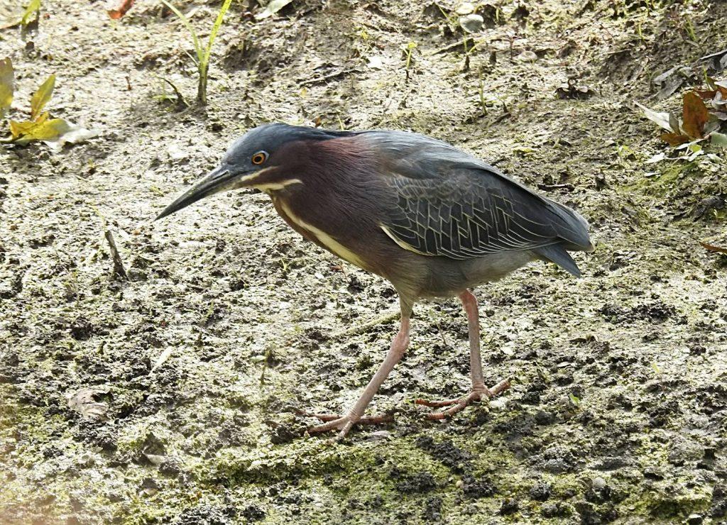 Green Heron at Magee Marsh (Coolpix 900)