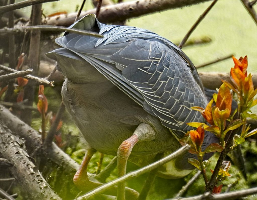 The Back End of a Green Heron at Magee Marsh (Coolpix p900)