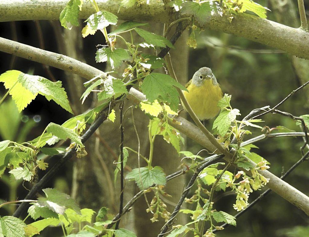 Yellow Warbler Un-cropped photo Nikon Coolpix p900
