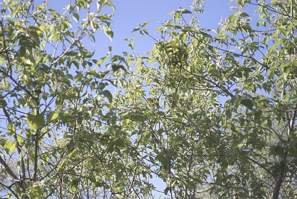 Yellow Warbler Un-cropped photo Nikon DX40
