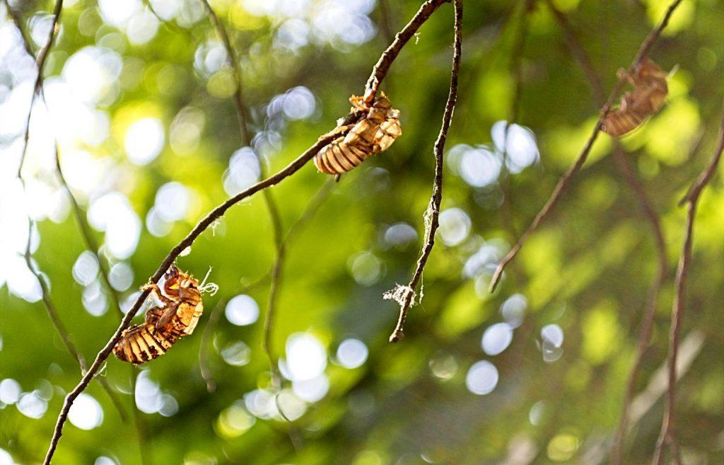 Empty Cicada Husks