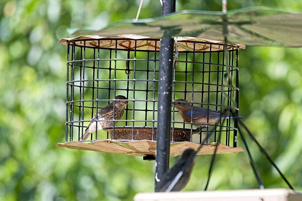 Mother American Bluebird Brings Fledgling to Feeder