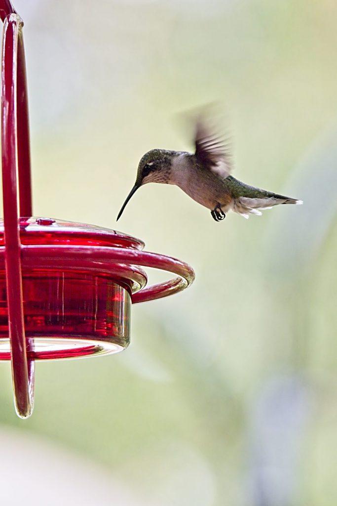 (Ruby-Throated Hummingbird at Mosaic Hummingbird Feeder)