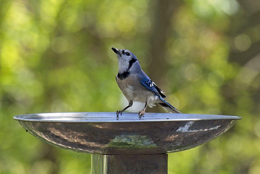 (Blue Jay at Birdbath)