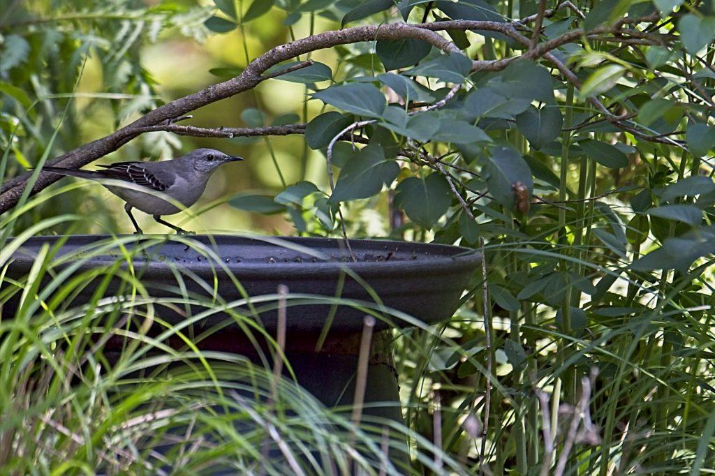 (Northern Mockingbird at Birdbath)