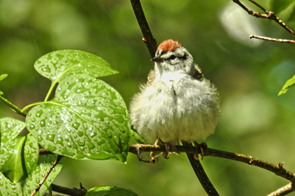 (Chipping Sparrow Enjoying a Summer Sprinkler Shower)