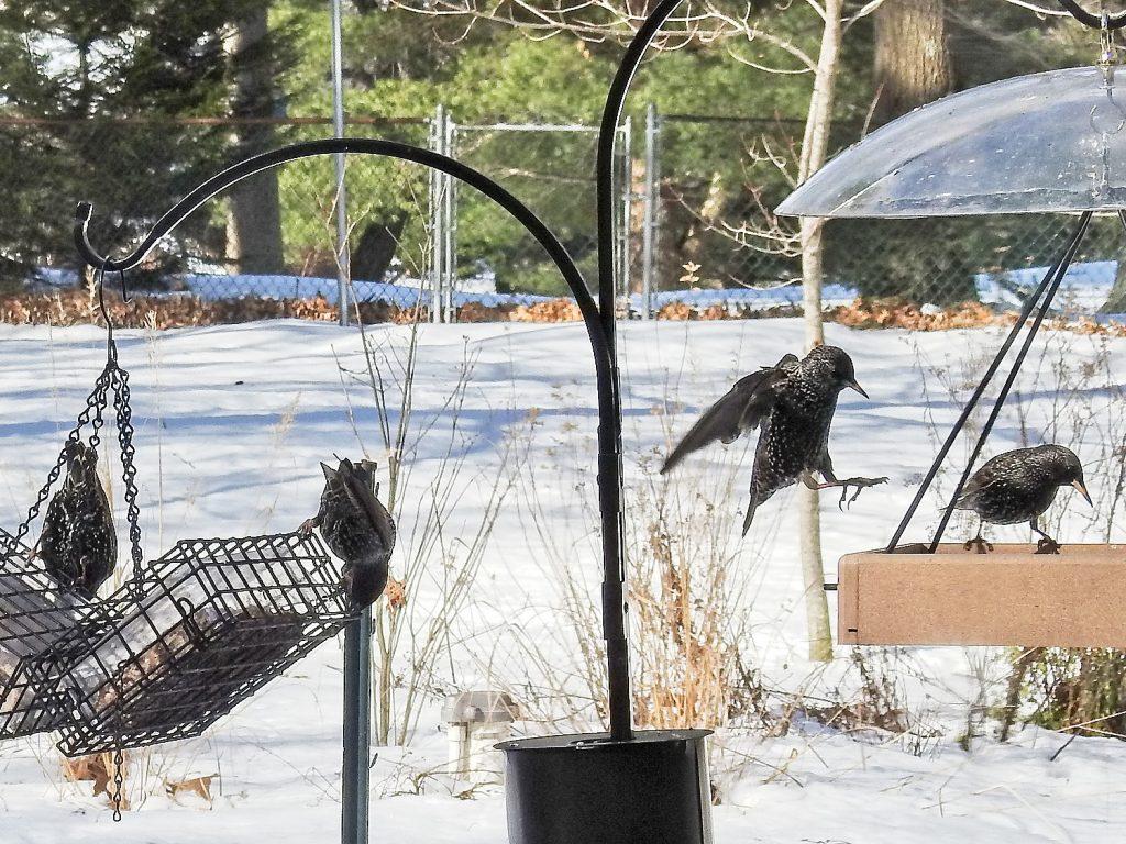 Starlings on Feeders